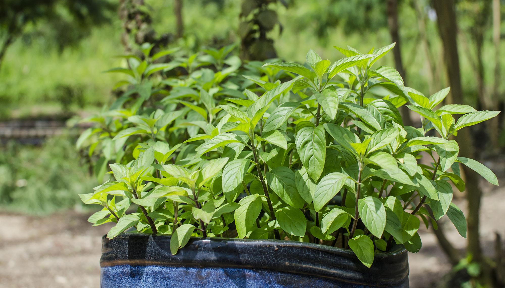 Wild Mint – Great Gourd Herbal Garden